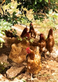 Concept de vie à la ferme avec des poules