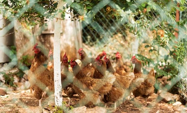 Concept de vie à la ferme avec des poulets derrière une clôture