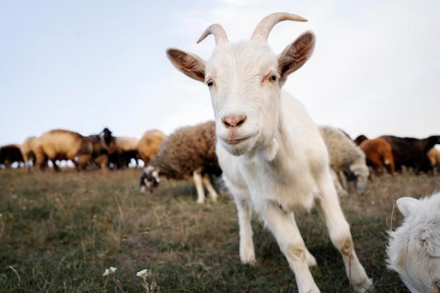 Concept de vie rurale avec chèvre blanche et mouton