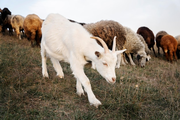 Concept de vie rurale avec chèvre et mouton