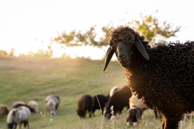 Concept de vie rurale de mouton mignon