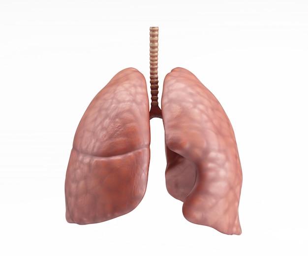 La conception des poumons humaines