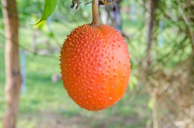 Concombre amer printanier (momordica cochinchinensis spreng.)