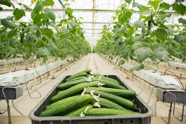 Concombre frais rassemblés dans une boîte en plastique provenant de plantes de serre.
