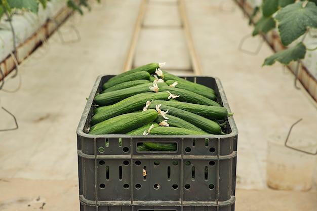 Concombre frais récolté à partir de plantes de serre.