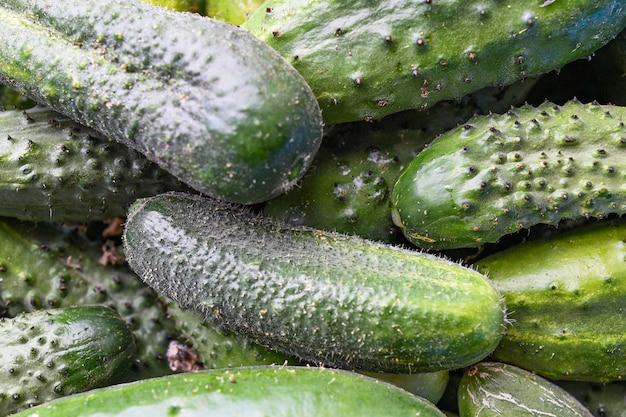 Concombre de légumes macro photo alimentaire. beaucoup de concombres verts juteux avec des boutons.