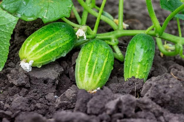 Concombres verts sur un lit. cultiver des concombres_