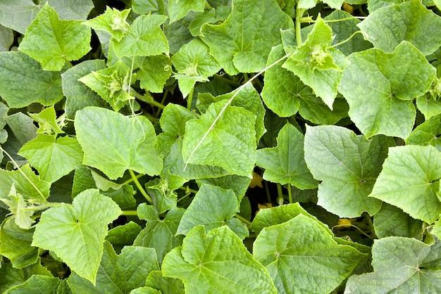 Concombres verts, photographiés en gros plan
