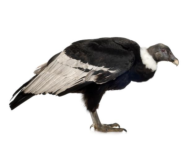 Condor des andes (15 ans) vultur gryphus - en face sur un blanc isolé