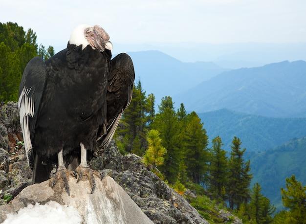 Condor andin dans la zone sauvage