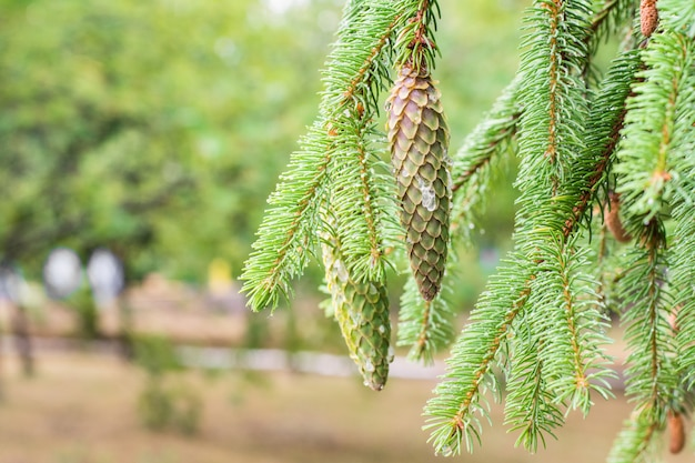 Cône de pin dans un pin. branches de pin dans la nature.