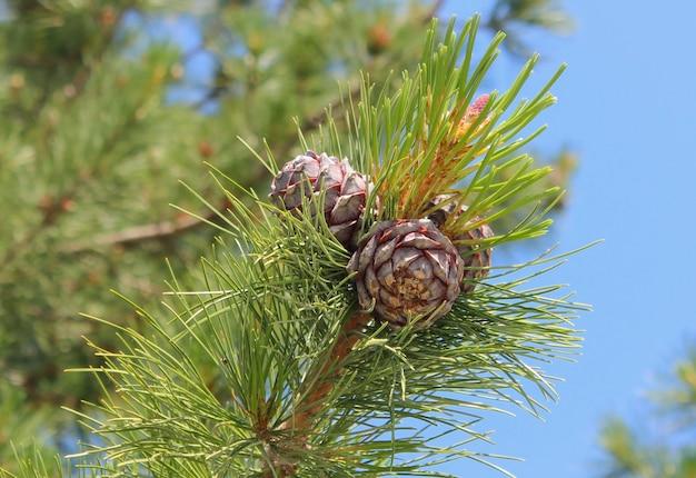 Cônes de cèdre gros plan sur une branche d'arbre