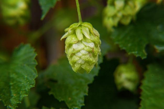 Cônes de houblon bio mûrs frais verts pour faire de la bière et du pain, close up