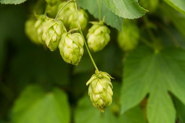 Cônes de houblon frais vert pour faire de la bière et du pain agrandi, fond agricole.
