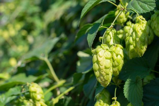 Cônes de houblon frais verts pour faire de la bière et du pain en gros plan