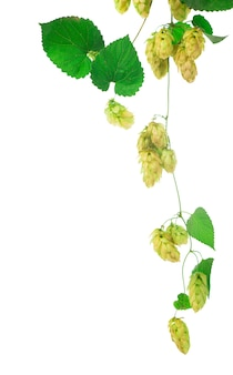 Cônes de houblon vert isolés sur blanc, brassage, production de bière naturelle