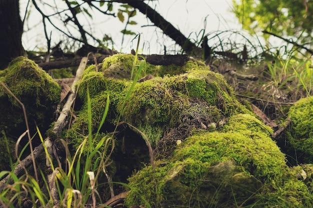 Cônes avec de la mousse dans la forêt