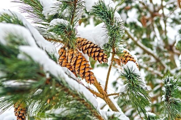 Cônes de pin sur une branche couverte de neige d'un pin.