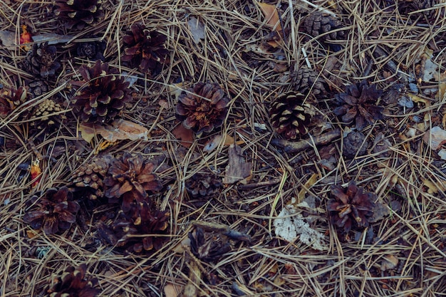 Cônes de sapin sur le sol de la forêt