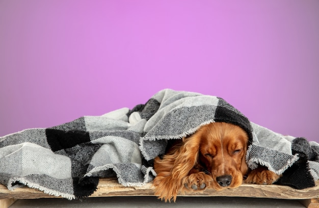 Confort à la maison. cocker anglais jeune chien pose. mignon chien ou animal de compagnie brun ludique couché avec un enveloppement isolé sur un mur rose. concept de mouvement, d'action, de mouvement, d'amour des animaux de compagnie. ça a l'air cool.