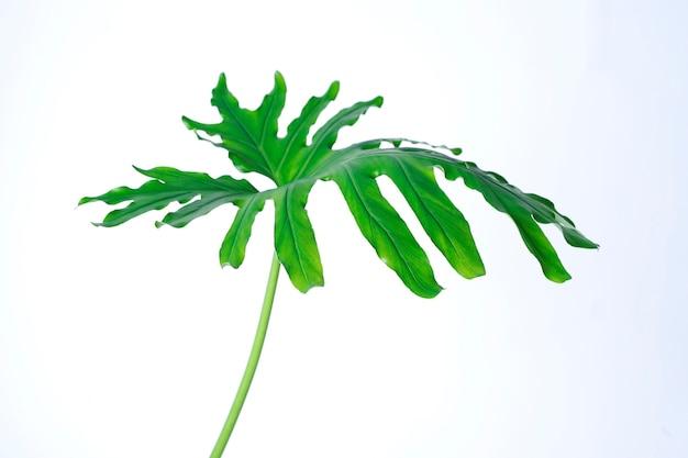 Congé de monstera vert isolé sur fond blanc