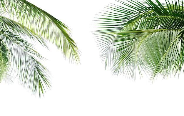 Congé vert de cocotier isolé sur fond blanc