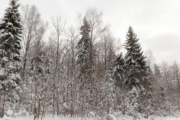Conifères et feuillus sans feuillage en hiver, arbres couverts de neige après les chutes de neige et les blizzards