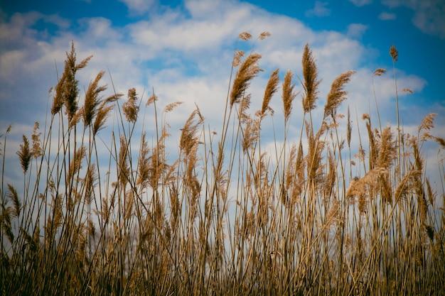 Conseils de roseau se déplaçant dans le vent au printemps avec un horizon ensoleillé de ciel bleu