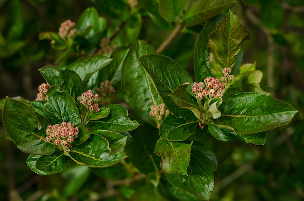 Contexte créatif des feuilles vertes. aronia. rowan noir. bourgeons de chokeberry.