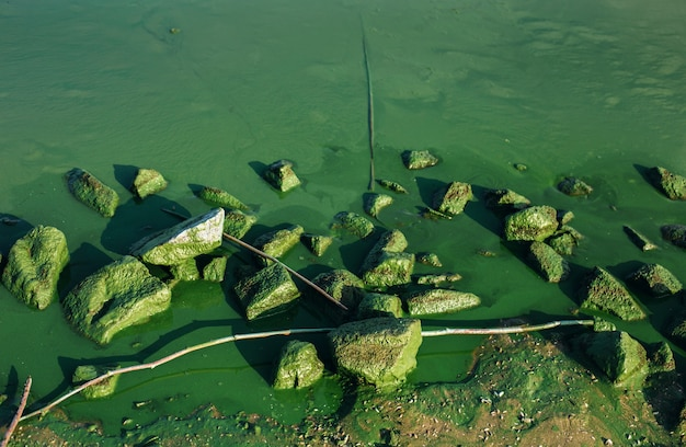 Contexte environnemental avec des fleurs d'algues et des pierres moussues dans l'eau