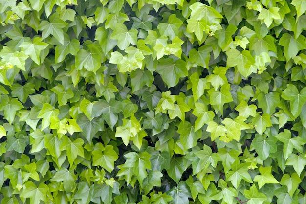Contexte de feuilles des raisins de cuve