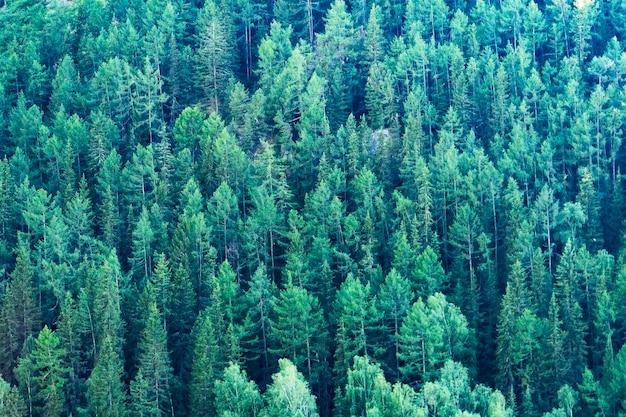 Contexte - la taïga en été avec une vue plongeante entièrement recouverte d'un terrain forestier de conifères, vue de dessus.