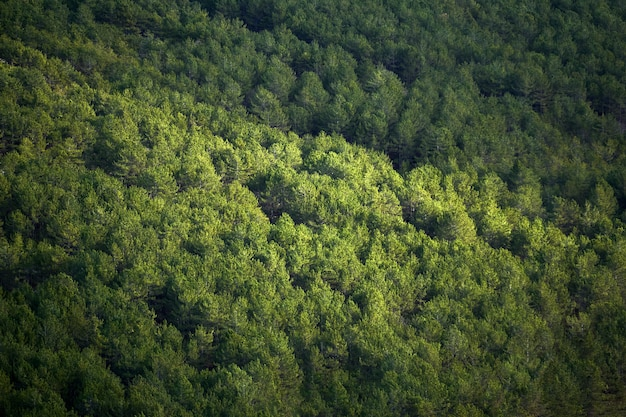 Contexte - vue de dessus d'une forêt de pins, partiellement éclairée par les rayons du soleil