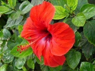 Contrairement fleur rouge