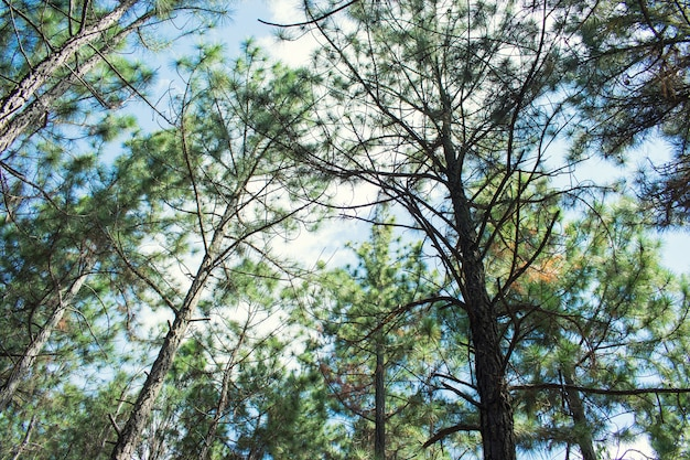 Copas de pino en el bosque