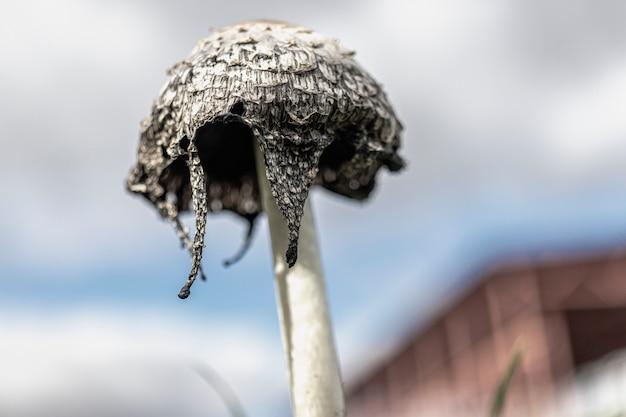 Coprinus comatus coprinopsis atramentaria champignons poussant sur une pelouse avec de l'herbe d'automne