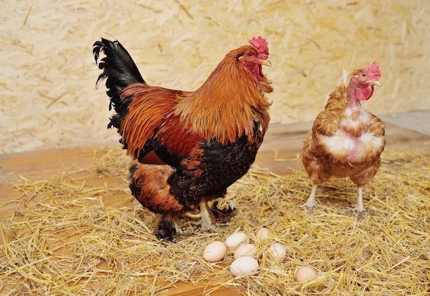 Un coq brahma et un poulet de transylvanie à cou nu sur fond de foin et d'œufs dans un poulailler d'une ferme avicole.