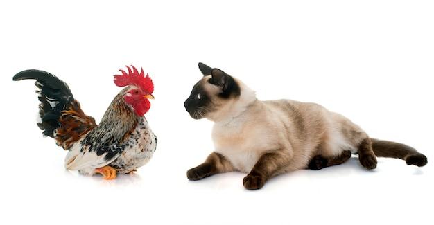 Coq et chat siamois