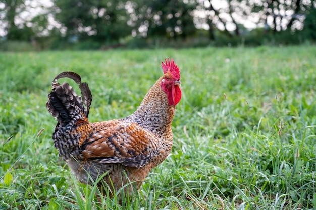 Coq dans l'herbe des pâturages à l'extérieur