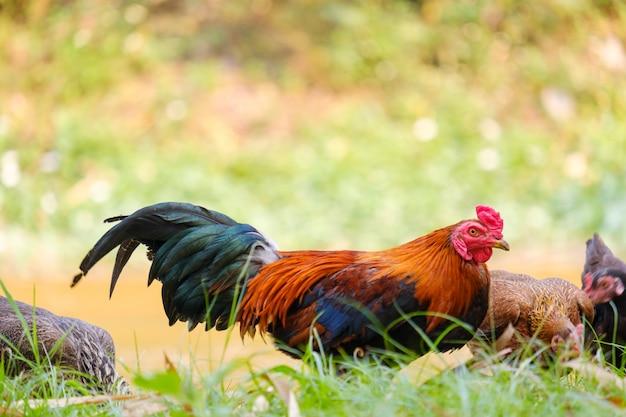 Coq dans le jardin et arrière-plan flou