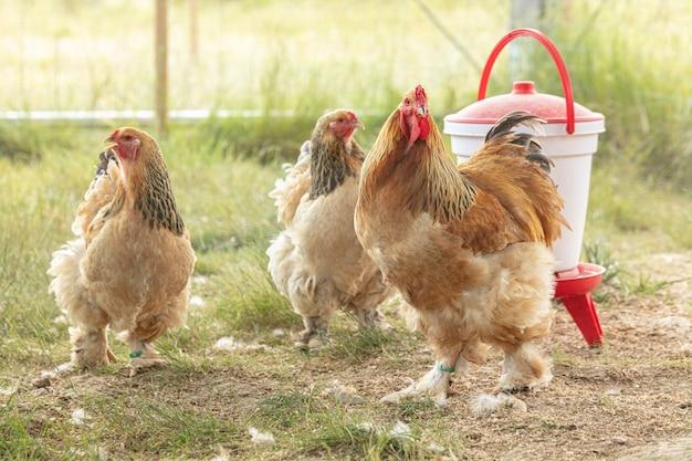 Coq et poule de pedigree dans une ferme avec une mangeoire à grains