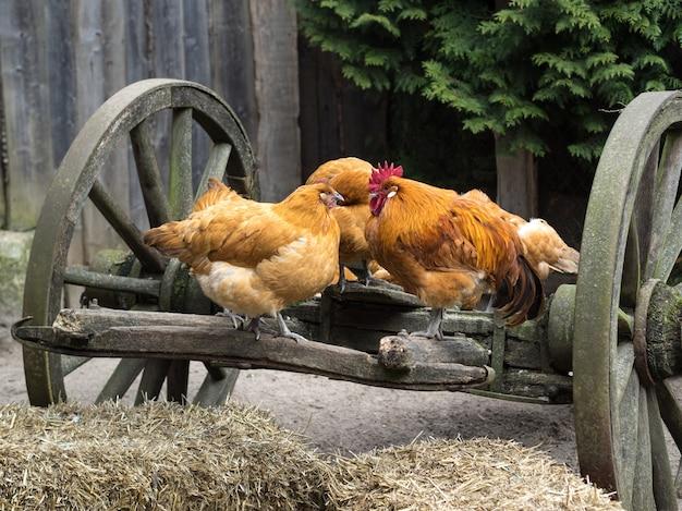 Coq Et Poules Dans La Basse-cour Sur Une Charrette En Bois Scènes De La Vie Rurale à La Ferme Photo Premium