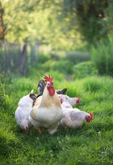 Coq et poulets. coq et poules en liberté.