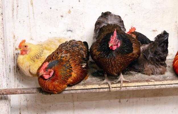 Coq et poulets dans une ferme dans une grange. poules d'élevage