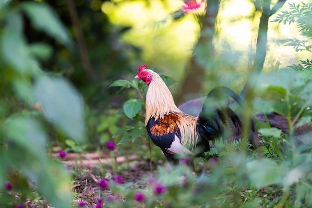 Coq qui chante en forêt avec flou d'arbres