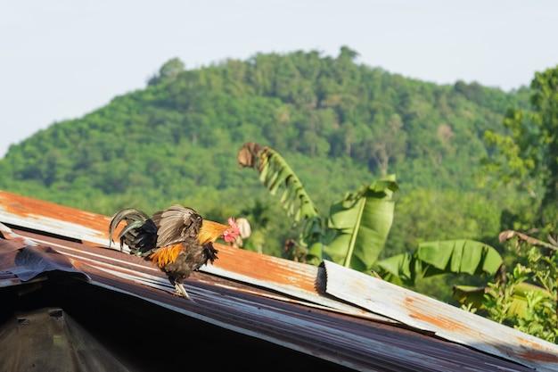 Coq sur le toit