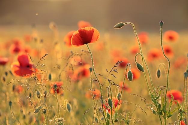Coquelicot dans le champ au coucher du soleil