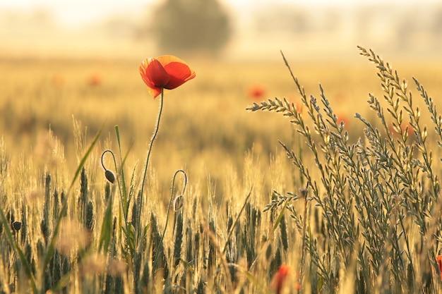 Coquelicot dans le domaine au lever du soleil