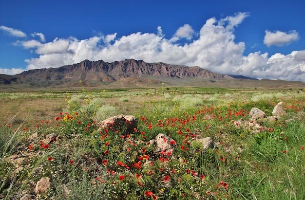 Coquelicot dans les montagnes du caucase
