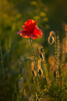 Coquelicot rouge dans les rayons chauds du coucher de soleil